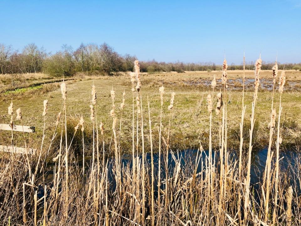 Norfolk Broads - water reeds