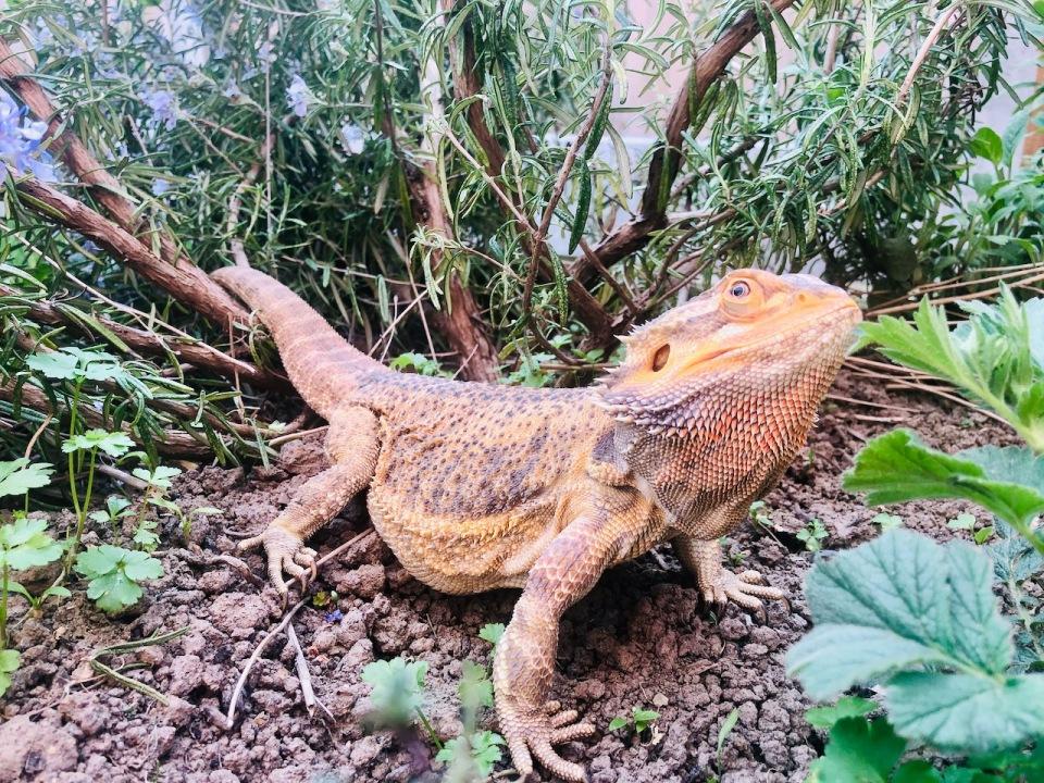 Bearded lizard in my herb garden