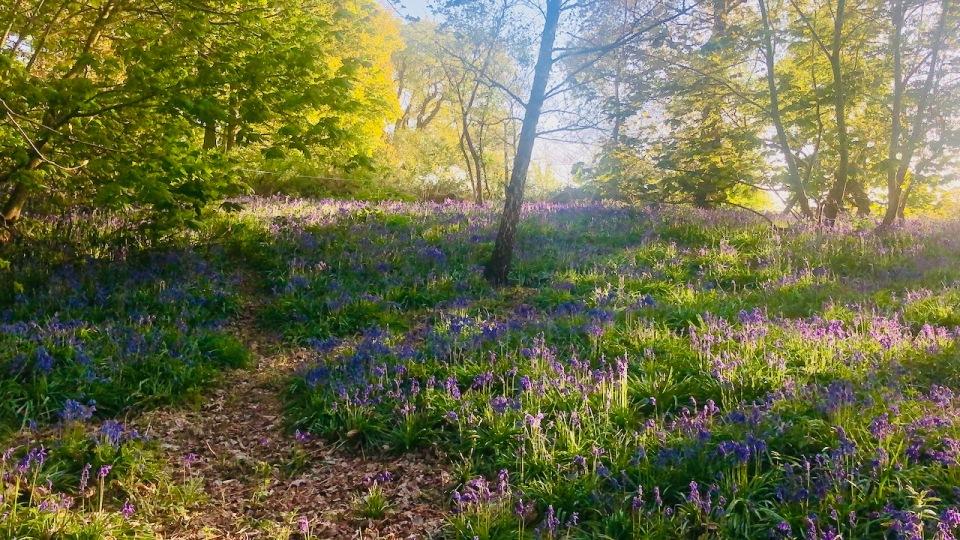 Bluebells carpeting woodland floor