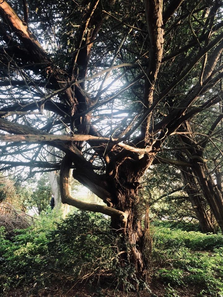 Yew Tree at Salhouse Church