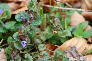 Ground Ivy 1