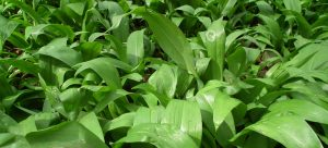 Wild Garlic - Ramsoms