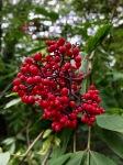 Rowan berries 1