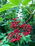 Rowan berries 2