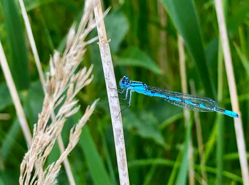 Damsel Fly - so fragile and pretty